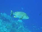 ハッタ島の水中写真 でっかい魚