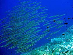 ハッタ島でみた魚の群れ