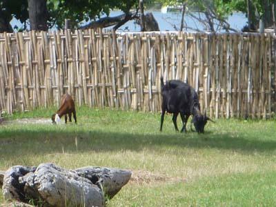 リゾート敷地内で草をはむ牛と山羊