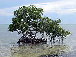 海の上にぽつんと生えるマングローブ