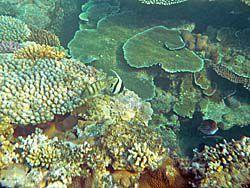 珊瑚とエンゼルフィッシュ