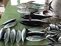 魚市場に並んだマグロや鰹