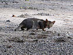 マロレビーチを横切る猫