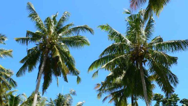 ペニダ島の椰子