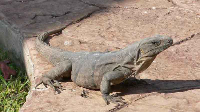 メキシコでよくであう野生のイグアナ