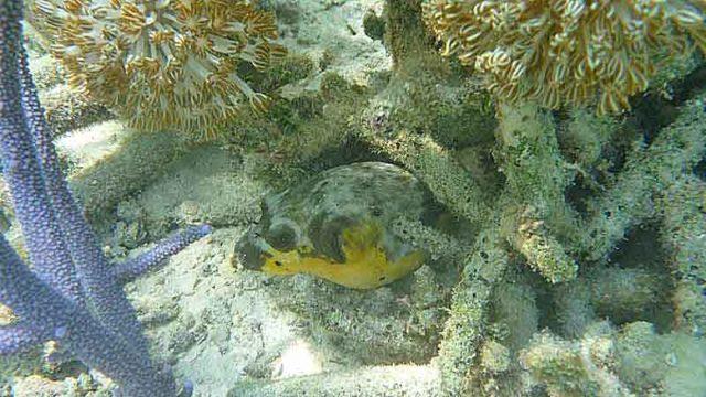 ケイ島 珊瑚に隠れるふぐ