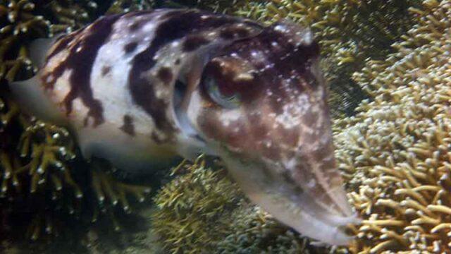 インドネシア ギリアサハンの海中にいた巨大なイカ